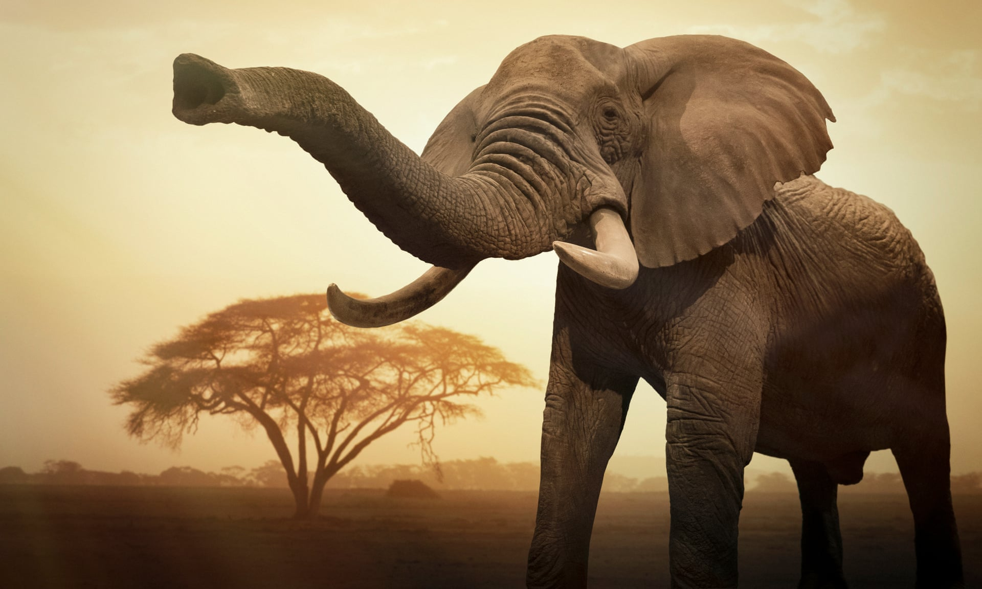A giant female African elephant (Loxodonta africana) at sunset showing trunk as an aggressive signal. Photograph: Buena Vista Images/Getty Images