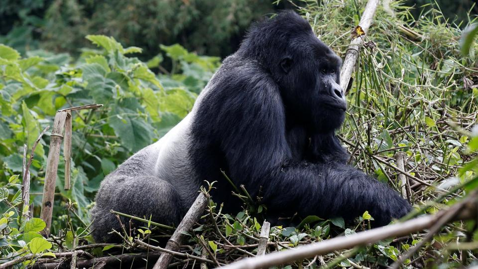 An endangered silverback high mountain gorilla from Sabyinyo family walks inside a forest in the Volcanoes National Park near Kinigi, north-western Rwanda. Photograph: Thomas Mukoya/Reuters